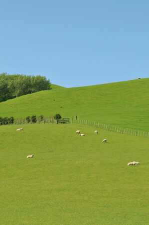 Sheep on green pasture under blue sky