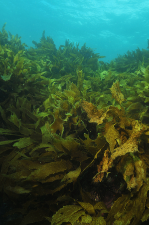 Shallow water kelp forest moving in swell