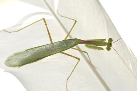 Praying mantis crawling on feather