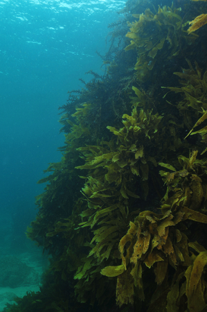 Steep rocky reef covered with kelp forest of Ecklonia radiata