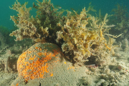 silty: Orange boring sponge protruding from sandy bottom Stock Photo