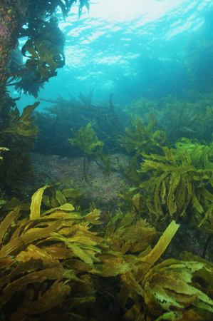 Rocky reef covered with kelp reaching to surface