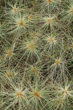Pattern of many spinifex heads, also called tumbleweed
