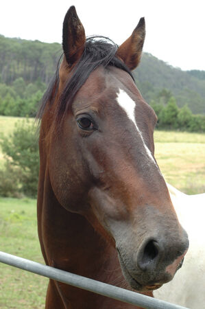 horse pipes: Portrait of brown & white horse behind metal fence