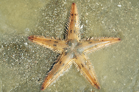 silty: Astropecten spiny sea star on silty bottom