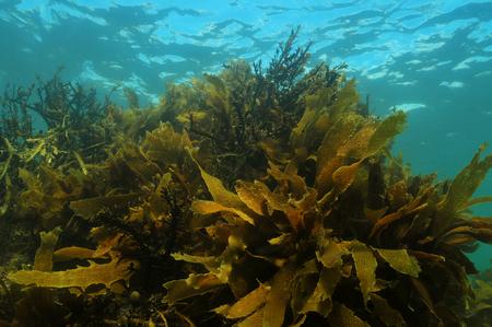 algas marinas: Poco profundo bosque de algas en el agua templada del Océano Pacífico formado por Ecklonia radiata y otras algas pardas Foto de archivo