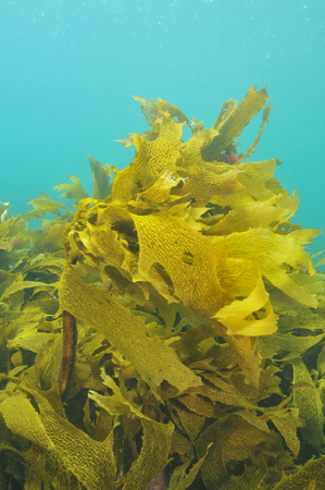 Kelp moving in murky shallow water