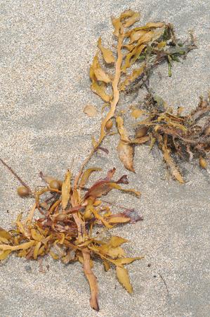 Uprooted seaweed washed onto beach photo