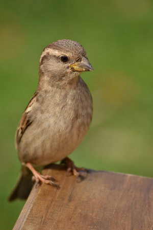 passer by: House sparrow Passer domesticus on a green blurred background. Stock Photo