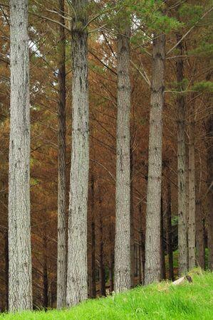 Pine farming in New Zealand.