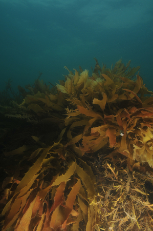 browns: Growth of brown kelp on the flat reef in Browns Bay at late evening.