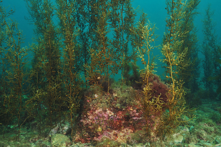 Shallow water kelp forest on flat rocky reef Imagens