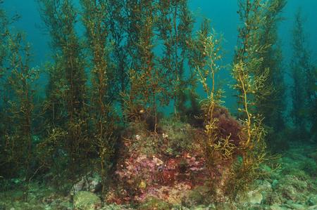 Shallow water kelp forest on flat rocky reef Zdjęcie Seryjne