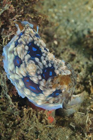 Gem nudibranches (Gem doris Dendrodoris gemmacea  D. denisoni) look like real living gems