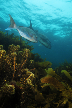 australasian: Australasian snapper Pagrus auratus in the waters around New Zealand.