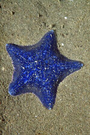 cushion sea star: Unusually blue cushion sea star Patiriella regularis on sandy bottom in shallow water.