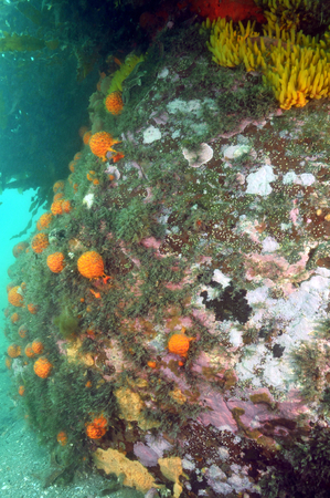 nipple: Vertical rock in Whangateau Harbour near Ti Point wharf with a growth of various sponges – orange golfball yellow nipple and pale peach encrusting. Stock Photo