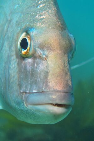 strobe: A close-up portrait of australasian snapper Pagrus auratus. The eye is in perfect focus and the shiny forehead reflects the light from the strobe. Stock Photo