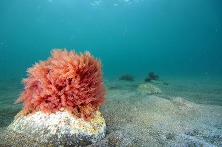 Buisson solitaire d'algue rouge danse avec surfer sur fond de sable plat près Leigh Banque d'images - 46967642