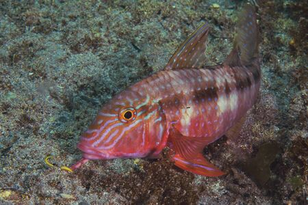goatfish: Goatfish Upeneichthys porosus in beautiful almost tropical colours scanning sandy bottom with its barbels for food