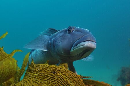 Blue cod Parapercis colias in the marine reserve of Goat Island near leigh new Zealand. Stock Photo