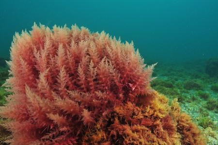 Bush de algas rojas moviéndose en el agua turbia