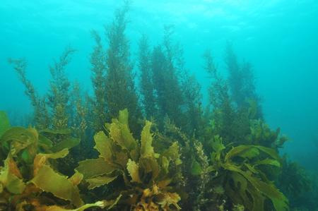 alga marina: bosques de algas marinas de poca profundidad del agua en el agua brumosa Foto de archivo