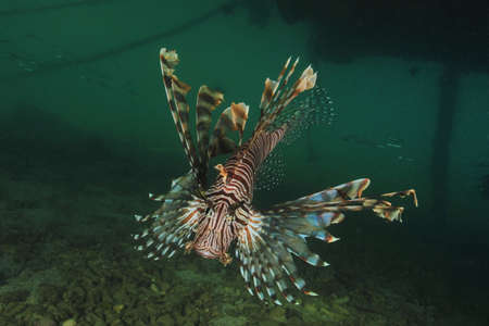 pterois: Lionfish (Pterois) onder the jetty of Tongan Beach Resort in Utungake.