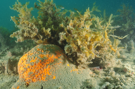 silty: Orange boring sponge partially covered with silt on the bottom of Mahurangi Harbour.