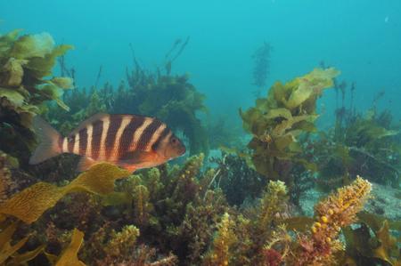 赤い moki ニュージーランドの海で Cheilodactylus について。