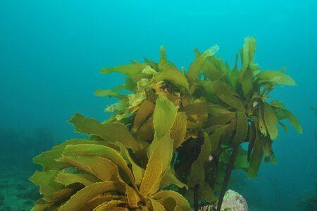 alga marina: Acechado alga marrón Ecklonia radiata Foto de archivo