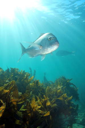 Australasian snapper Chrysophrys auratus swimming above kelp forest in shallow water lit by sun rays.