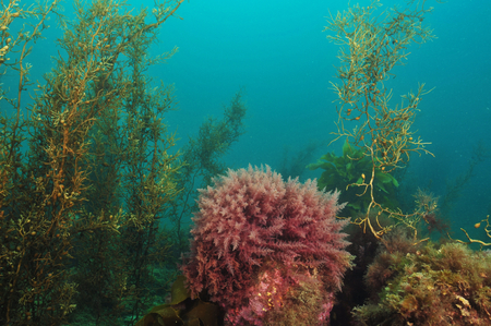 Bush of red algae in shallow water kelp forest Stock Photo
