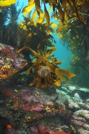 Common sea urchin Evechinus chloroticus grazing on brown stalked kelp Ecklonia radiata
