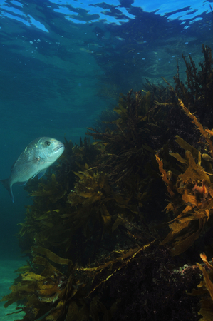commercial fisheries: Australasian snapper Pagrus auratus in the waters around New Zealand.