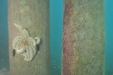 Eleven-armed sea star Coscinasterias calamaria on a pole of Ti Point wharf.