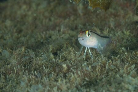 Tiny triplefin sitting on algae covered sea bottom.