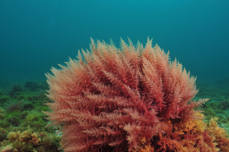 Bush of red algae moving in turbid water