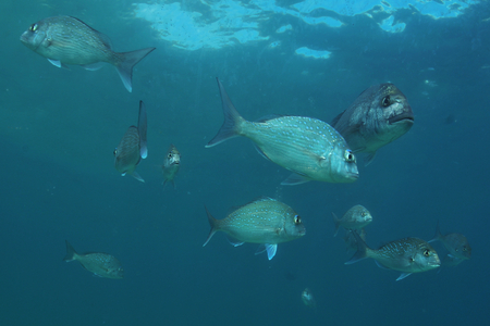 Both juvenile and adult snapper gather in the marine reserve around Goat Island near Leigh in New Zealand.