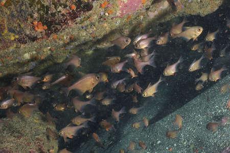 crevice: A school of New Zealand bigeye Pempheris adspersa in a crevice in Goat Island marine reserve near Leigh.