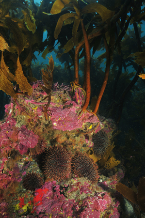 habitats: Various forms of kelp plant habitats in the temperate waters of southern Pacific ocean around New Zealand.