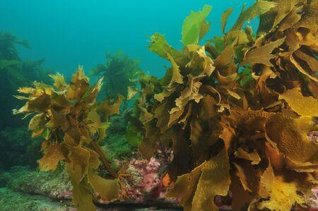 alga marina: Acechado alga marr�n Ecklonia radiata Foto de archivo