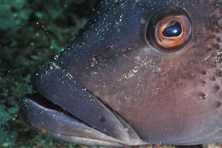 perciformes: A head close-up shot of Blue cod Parapercis colias. Stock Photo