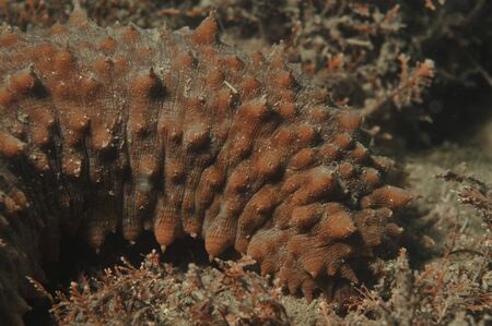browns: Brown sea cucumber Stichopus mollis on the bottom of Browns Bay in Auckland.