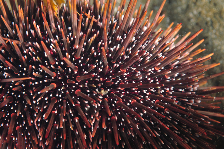 echinoderm: Close-up of southern Pacific common sea urchin.