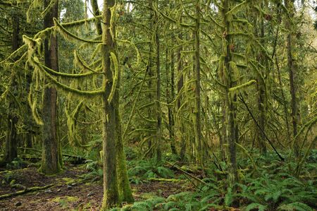 temperate: Dense forests of north Vancouver in early spring. Stock Photo
