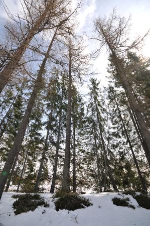 Tall conifer trees in High Tatras.