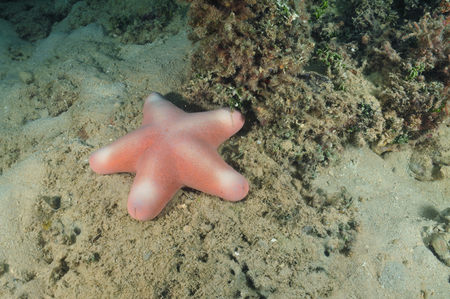 silty: Pink sea star Choriaster granulatus on silty bottom.