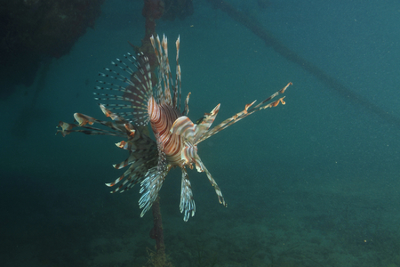 pterois: Lionfish (Pterois) from back in shallow water under floating jetty. Stock Photo