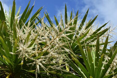 cordyline: Cabbage tree in bloom.